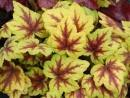 Heuchera Stoplight
