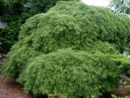 Japanese Maple Viridis