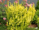 Berberis Gold Pillar