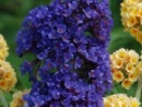 Buddleia Ellen's Blue
